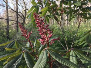 Red Buckeye a Native Plant Found on Hominy Creek Greenway by Brotherhug Barlow